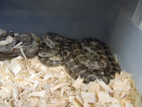 Venomous Snakes Along The Mississippi Environmental Studies - Poisonous snakes in mississippi