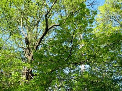 Acer Saccharum Sugar Maple Aceraceae Sapindaceae Environmental