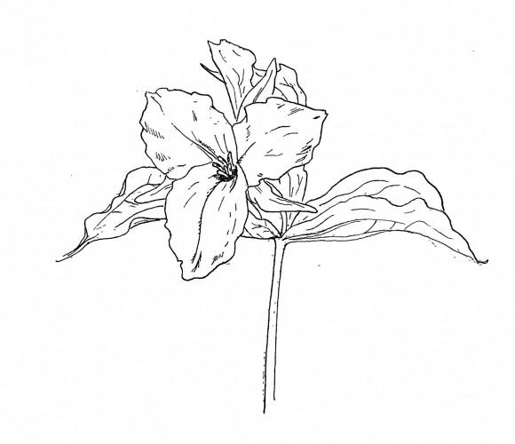Trillium Grandiflorum (White Trillium) Melanthiaceae   Environmental Studies   Lake Forest College