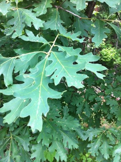 Quercus alba (White Oak) Fagaceae Family   Environmental ...  Quercus alba (W...