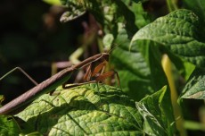 we found one! an adult mantis is found among the bush beans in september (photo by liz birnbaum '08)