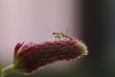 a young mantis nymph poses on a clover flower (photo by liz birnbaum '08)