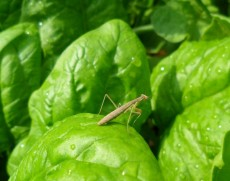 we send the mantids off and hope they will eat a bounty of insects we do not want in the garden (photo by claire perrott '12)