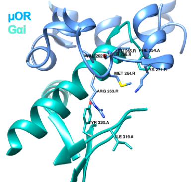 Figure 1. ICL3 stabilizes the interface between receptor and G protein through multiple contacts with a hydrophobic patch on the α5-helix of Gαi. Interactions between ICL3 of μ-OR and Gαi, and between the cytosolic ends of TM3, TM5 and TM6 of the μ-OR and the α5-helix of Gi. Adapted from Koehl et al. (2018).