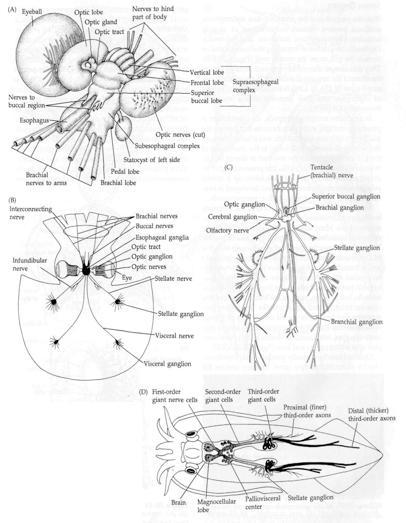 Cephalopod Encephalization Eukaryon Lake Forest College