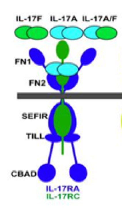 Figure 5 IL-17A, IL-17F, IL-17A/F receptor, and ligand-receptor relationships and main structural features. FN, fibronectin III-like domain; SEFIR, SEF/IL-17R-related signaling domain; TILL, TIR-like loop; CBAD, C/EBPβ activation domain as shown [36].