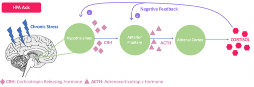 Figure 3. Effects of Chronic Stress on the Hypothalamic pituitary axis (HPA). Chronic stress causes an increased release of CRH (corticotropin releasing hormone), which increases the release of ACTH (adrenocorticotropic hormone) from the anterior pituitary. ACTH then through the adrenal cortex triggers the release of cortisol from the adrenal glands (Gunnar, 2007).