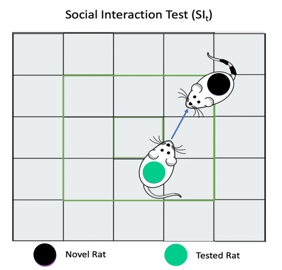Figure 8. Schematic of the Social Interaction test (SIt). The social interaction test was conducted in the OF chamber. A novel rat (black) was labeled and the number of social interactions initiated by the experimental (green) rat were analyzed.