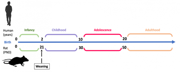 Figure 1. Rat versus Human Development Timeline. Adolescence as a developmental stage can be identified across majority of mammals but the precise definition varies across different species. In humans, adolescence is often characterized between 10-20 years of age and although the researchers disagree on the precise definition of adolescence it rats it is usually reported as a period between 30-50 post-natal days (PND). Nevertheless, it is important to keep in mind that the numbers provided are just estimates and may show individual as well as sex differences.