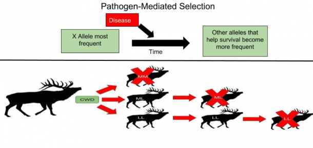 Figure 1. Methodology of pathogen-mediated selection in general populations. Elk with the different alleles shown above have relatively different life spans with chronic wasting disease, with L allele elk surviving the longest.