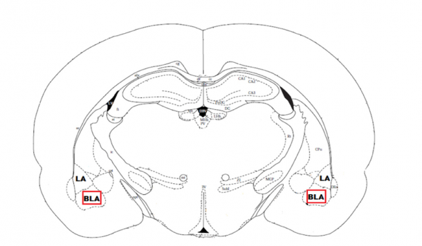 Figure 18. Schematic diagram of the region of interest: basolateral amygdala. Coronal section of a rat brain (Paxinos & Watson Brain Atlas) through the temporal lobe highlighting the basolateral amygdala nuclei as part of the limbic system.
