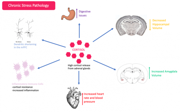Figure 4. Effects of Cortisol. After a chronic exposure to a stressor, cortisol gets released from the adrenal glands into the blood stream. Chronic exposure to increased levels of cortisol have been associated with increased blood pressure and heart rate, increased prevalence of digestive issues, as well as elevated inflammation. In the brain, increased levels of cortisol have been linked to an increased amygdala volume, dendritic shortening in the medical pre-frontal cortex and decreased hippocampal volume.