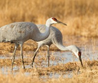 Sandhill cranes are a common sight at the Lake Forest County Forest Preserves.