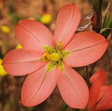 """This beauty is present across several different ecosystem types in the Cape Floristic Kingdom. Despite its common n..."